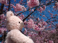 桜とメロディ